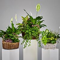 Sympathy Plants - Sympathy